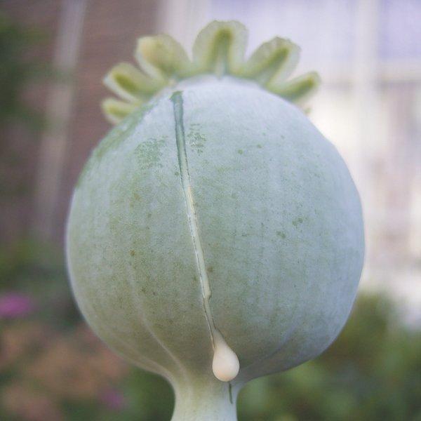 natural opium picture
